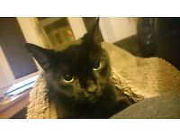 gorgeous 7 year old black cat needs a new home