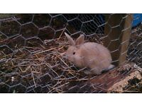 Baby Rabbits for sale 21/2 months old