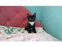 Lovely black and white female kitten for sale!