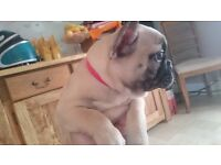 stunning fawn french bulldogs,ready now,one girl left,frenchies