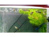 3 Beautiful female guppies looking for a new home