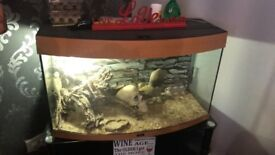 2 bearded dragons with tank