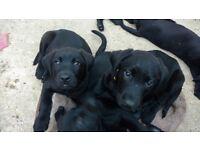 Labrador puppy £750