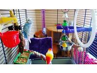 Blue budgie with cage and accessories