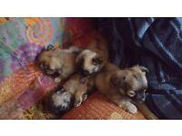 Longhaired Chihauhau pups