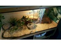 4ft Vivarium and Cornsnake for sale