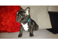 last black french bulldog puppy ready now