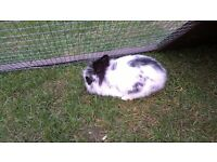 Baby Male Rabbit For Sale