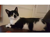 2 year old female cat neutered.
