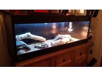 2 x female bearded dragons with vivarium