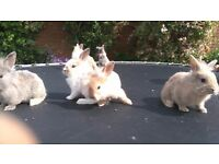Baby rabbits for sale - Ready 15/06 .£ 15 each .SG6 4NZ