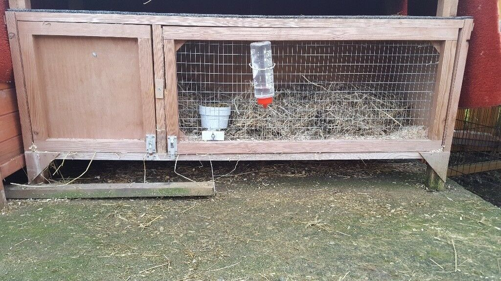Male adult rabbit and hutch