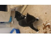 tuxedo kittens black with white paws