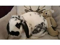 Sam male bunny. Black & white/ Lop.