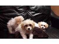 Cavachon puppies boys and girls