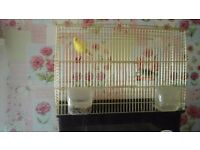 Canary and zebra finch for sale