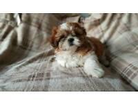 Beutiful shih tzu puppies for sale boy &girl