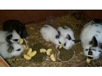 Butterfly lionhead rabbits