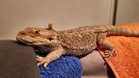 2.5 years old Bearded dragon male + viv.