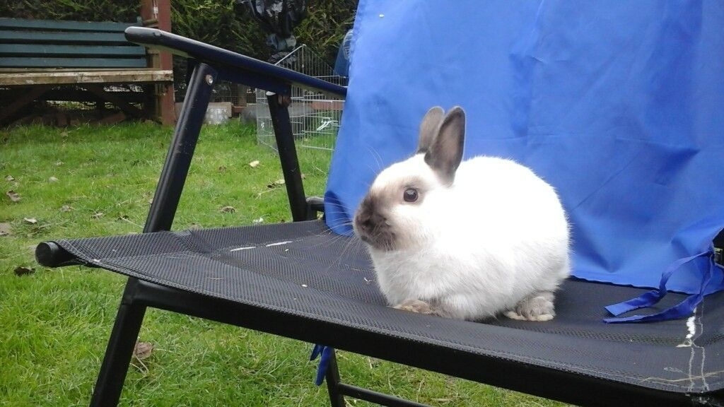 One gorgeous seal point netherland dwarf buck