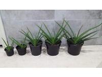 Aloe Vera medicinal plants