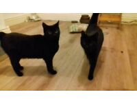 2 black cats. 1 is 3 years old (mum) & other 8 months old (daughter) both need homing pref together