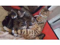 Bengal kitten 1 REMAINING