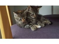 2 beautiful kittens - £180 for both (must go together)