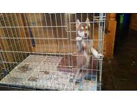 11 week old Siberian husky pup