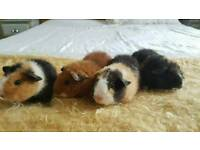 4 Lovely boy Teddy Guinea pigs