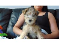 ONLY ONE LEFT .. LAKELAND TERRIER PUPPY