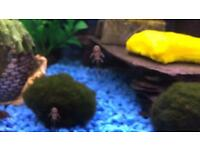Baby bristlenose catfish