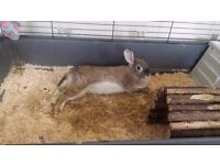 3.5 year old female rabbit (spayed) free to the right caring home