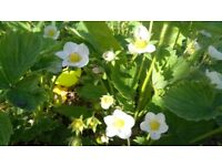 10 strawberry plants one year old flowering