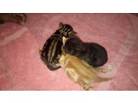 Bengal kittens ALL NOW SOLD