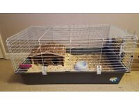 2x Guinea Pigs + cage and accessorys