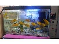 Yellow labs african cichlids