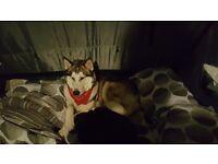 Husky x Alaskan Malamute