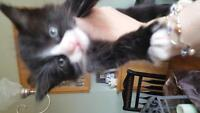 free adorable 8 week old litter trained kittens