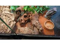 Frog Eyed Gecko / Wonder Gecko