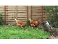 2 warren chickens for sale