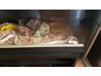 5ft albino Californian king snake with full set up