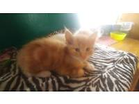 Ginger kitten for sale