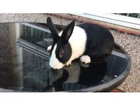 Dutch Rabbit Male for £50 + Cage