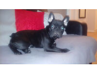 kc reg and dna tested blue carrier french bulldog pup