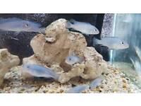 Malawi cichlids for ssle