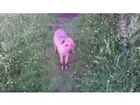 2yr old lurcher dog