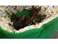 Oriental Back Kittens.
