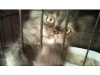 1 Full persian kitten for sale