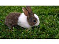 Beautiful Baby Dutch Rabbit